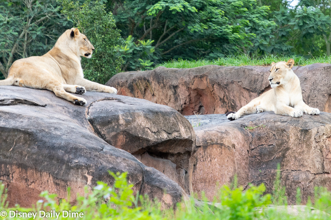 Picture of the lionesses on Kilimanjaro Safaris at Animal Kingdom.